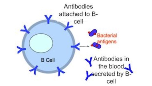 Research: B Cells Gone Bad Could be The Culprit in ...